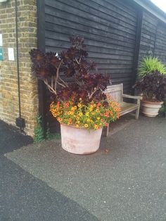 This container uses intelligent plant selection of the use of colour. To make this dark corner, colorful and inviting. They have used bright flowers of asters, with  Aeonium arboreum 'Zwartkop'.  Which makes a great contrast between these two plants. The dark shrub, bring to life the bright orange flowers, which allows the plant to stand out even more.