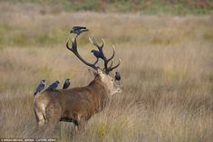 Ignore us: This Red Deer doesn't appear to mind the jackdaws resting on his body and antlers as he stands in Richmond Park, London