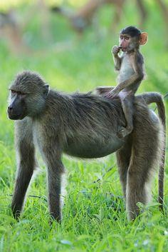 On Zambia Safari, young baboon hitching a ride horseback style