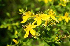 Minzen Mentha Spec Heilpflanzenlexikon Kraut Kraut Rezepte