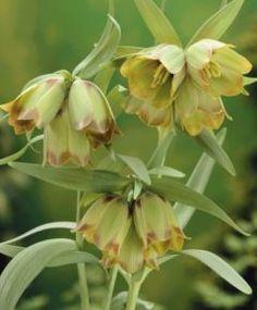 "Fritillaria pontica (April/May, 12"")"