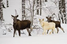 *THE GREEN GARDEN GATE*: NORWAY HAS GOT A NEW WHITE MOOSE