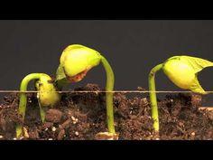 ▶ Lima Bean Time Lapse - YouTube