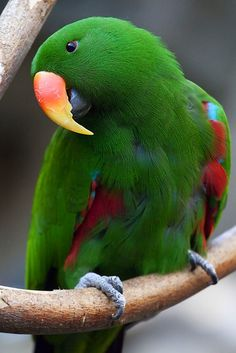 Eclectus Parrot - this parrot native to the Solomon Islands, New Guinea, northeastern Australia and the Maluku Islands (Moluccas). It is unusual in the parrot family for its extreme sexual dimorphism. Pretty Birds, Beautiful Birds, Animals Beautiful, Cute Animals, Pretty Fish, Tropical Birds, Exotic Birds, Colorful Birds, Exotic Animals