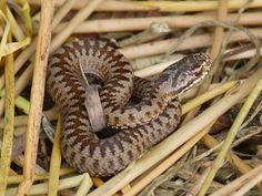 british adder snake