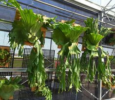 Platycerium sp. Platycerium, Staghorn Fern, Elks, Front Gardens, Southeast Asia, South America, House Plants, Plant Leaves, Stage