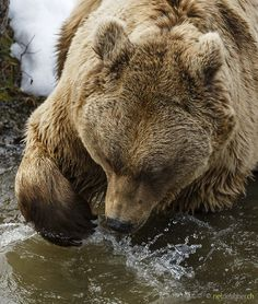 brown bear - fishing brown bear