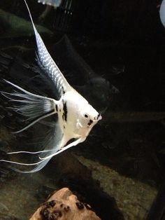 Marble glitter superveil Tropical Fish Store, Tropical Fish Aquarium, Home Aquarium, Freshwater Aquarium Fish, Beautiful Fish, Animals Beautiful, Angel Fish Tank, Aquariums, Discus Fish