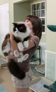 Giant Ragdoll cat. The gentle giant of domestic cats.