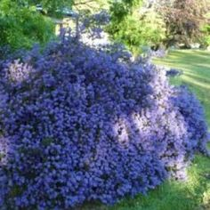 Ceanothus blue carpet | Californian Lilac