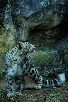 Snow leopard! So spectacular! Love the tail...