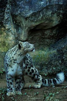 snow leopard! So spectacular!