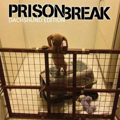 Prison break is a good show. This one is gonna be an adorable show! Dachshund Funny, Dachshund Puppies, Weenie Dogs, Daschund, Dachshund Love, Funny Dogs, Cute Puppies, Cute Dogs, Funny Animals