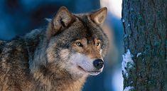 Vargfakta: Resultaten från inventeringsperioden 2016/17 visar att det finns cirka 355 vargar i Sverige. Det är ungefär lika många som förra vintern då inventeringsresultatet visade 340 vargar. Funny Dog Pictures, Husky, Animals, Funny Dog Photos, Animales, Animaux, Animal, Animais, Husky Dog
