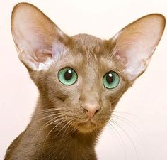 oriental shorthair cat ~ I think they look like a elf cat