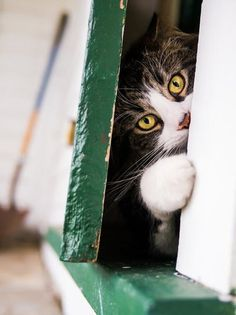 peek-a-boo Cats, Kittens (CTS) Pretty Cats, Beautiful Cats, Animals Beautiful, Pretty Kitty, Crazy Cat Lady, Crazy Cats, Kittens Cutest, Cats And Kittens, Animals And Pets