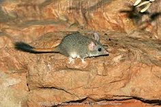 Red tailed phascogale. Australia.  (Phascogale calura)