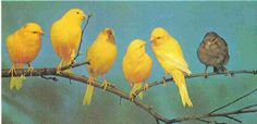 Canaries are pleasant birds to keep as pets, their delightful songs are their most valuable asset
