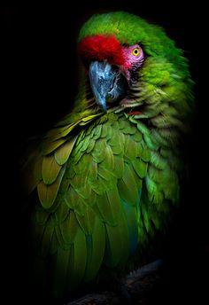 Likes, 31 Comments - Wildlife Parrot Wallpaper, Eagle Wallpaper, Animal Wallpaper, Tropical Birds, Exotic Birds, Colorful Birds, Wildlife Nature, Nature Animals, Beautiful Birds
