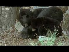 Why do bears hibernate? Watch this to discover how much effort is spent on survival during winter in the world of the big sky bears. Amazing nature photography from the USA bear wild habitats.