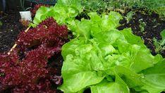 Gartenpower im Mai - mein neues Hochbeet, meine neue Regentonne und die Himbeerwette - Der Mai sorgt für eine regelrechte Explosion im Garten. Es rankt, Sprießt, wächst, gedeiht, blüht in jeder Ecke. In keinem Monat ist der Wandel von der kalten zur Warmen Jahreshälfte so deutlich zu sehen. Zeit sich auf die trockenen Monate und die zeit mit mit frischen Zutaten aus dem Garten vorzubereiten,  Categories: Frühling, Garten Monat, Kraut, Lettuce, Vegetables, Water Storage, Rain Water Collector, Apple Tree, Raspberries, Plants