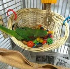 Hang a basket filled with tiny balls. Throw in some asso… Rat foraging activity. Hang a basket filled with tiny balls. Throw in some assorted treats and let the search begin. Diy Parrot Toys, Diy Bird Toys, Diy Rat Toys, Homemade Bird Toys, Parakeet Toys, Cockatoo Toys, Diy Cockatiel Toys, Parakeet Cage, Bird Aviary