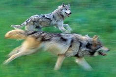 Gray Wolves--Wolves Photo