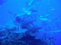 Shark feed at Osprey Reef