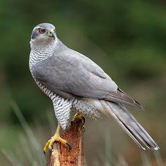 All Birds, Birds Of Prey, Love Birds, Beautiful Birds, Animals Beautiful, Northern Goshawk, Raptor Bird Of Prey, Shorebirds, Bird Perch