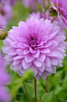 Front and centre of the same pot as Blue Wish Dahlia Blue Boy. Dahlia bues tend to be more of a purple hint to a paler shade of pink. Beautiful Flowers Pictures, Flower Pictures, Amazing Flowers, Pretty Flowers, Real Flowers, Dahlia Flower, My Flower, Purple Dahlia, Exotic Flowers