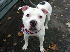 WHY DIDN'T YOU LOVE ME HUMANS? WHY DIDN'T I MATTER TO YOU?? I MAS MURDERED 7/31/16 - Manhattan Center YANKEE – A1082889 MALE, WHITE / BLACK, STAFFORDSHIRE MIX, 4 yrs OWNER SUR – EVALUATE, NO HOLD Reason NO TIME Intake condition EXAM REQ Intake Date 07/27/2016, From NY 10030, DueOut Date 07/27/2016,