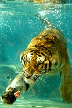 "frncsc187: "" Tiger Under Water 