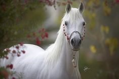 ❥ Arabian horse