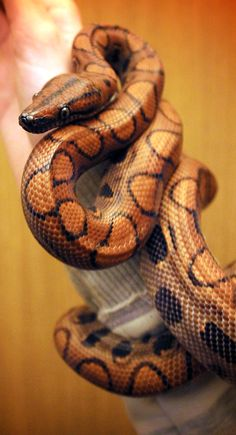 "earthandanimals: "" My GORGEOUS Brazilian Rainbow Boa. Her name is Rosie. She's just about 5 feet now! :) """