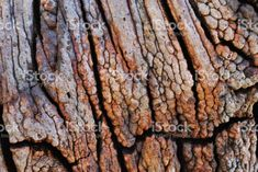 A Close-up of a Wood Burl on a Tree in Nature. Earth Color, Abstract Photos, Image Now, Close Up, Royalty Free Stock Photos, Wood, Nature, Naturaleza, Woodwind Instrument