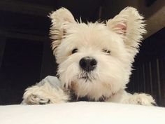 Can I share your pillow? Hoover the Westie.