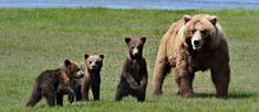 Bears in Alaska can be very exciting to watch as you see how they get friendly with other bears, how they feed and how they perform many other actions. Experience bear viewing in Alaska at its very best. Visit: http://goo.gl/CSgWgG