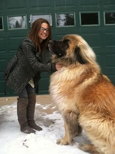 """Meet Simba, a German mountain dog who belongs to a giant breed called """"Leonberger"""". These magnificent creatures can weigh 170 pounds, but are incredibly disciplined, loyal, and gentle. I miss my Leonberger! Baby Animals, Funny Animals, Cute Animals, Funny Dogs, Giant Animals, Wild Animals, German Mountain Dog, St Bernese Mountain Dog, Cute Puppies"""