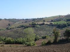 Olive oil tours in Marche, Italy