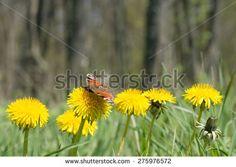 Butterfly on a the dandelion