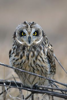 Short-eared owl by Young Sung Bae / 500px