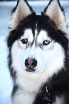 Handsome Balto...Siberian Husky has one blue eye and one brown eye.