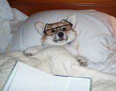 Corgi, reading in bed