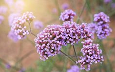 Verbena. fuss-free garden, because they require little intervention. Left to bloom and set seed, these prolific varieties will soon fill every available patch in the garden.  Here are my top 10 self-seeding plants. 1 Papaver