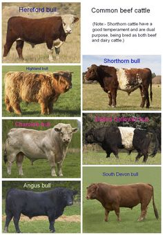 Differences Between Dairy Cows and Beef Cows