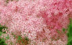 Meadowsweet Herb, A Natural Painkiller - Healthy Hildegard Pink Flower Names, Vegetable Garden Design, Medicinal Plants, Garden Planters, Deco, White Flowers, House Plants, Perennials, Planting Flowers