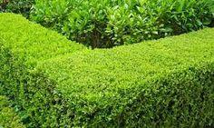 Japanese box hedge - front yard