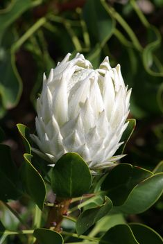King White Protea | by Mal & Cathy