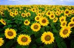 Clear Meadow Farms - north of Baltimore Sunflowers bloom for two weeks in September