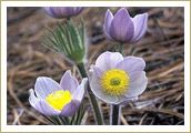 Pasque (or May Flower) ~ South Dakota State Flower  (Also known as pasqueflower, wind flower, prairie crocus, Easter Flower, meadow anemone and May Day Flower)